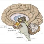 Brain-SCN